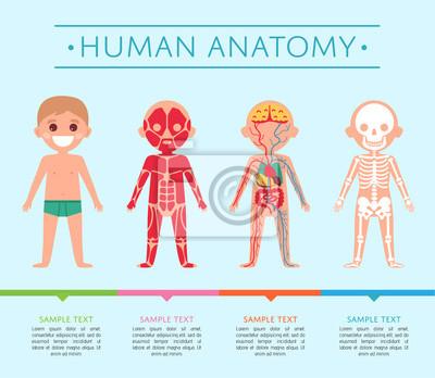 Menschliches anatomie-medizinisches plakat mit kind. männliche ...