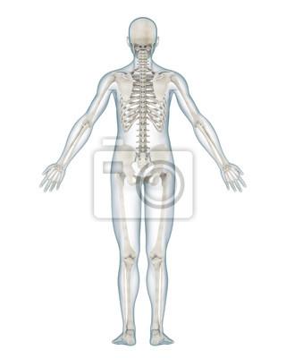 Menschliches skelett anatomie isoliert wandposter • poster früher ...