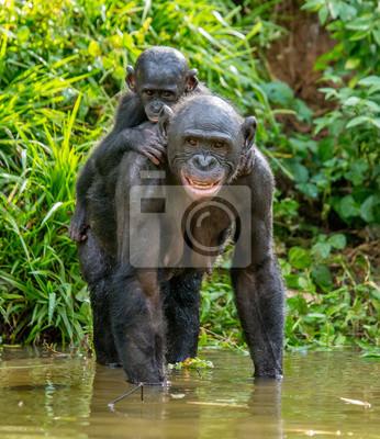 Mutter Bonobo mit dem Baby auf dem Rücken steht im Wasser. Demokratische Republik Kongo. Afrika.