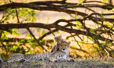 Mutter Gepard und ihr Cub in der Savanne. Kenia. Tansania. Afrika. Nationalpark. Serengeti Maasai Mara. Eine ausgezeichnete Illustration.