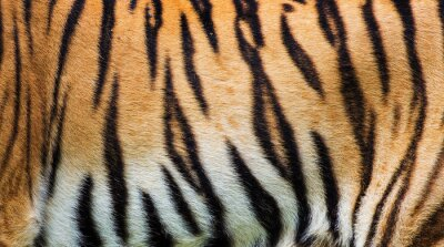 Poster Nahaufnahme Tiger Haut Textur