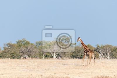 Namibische Giraffe, die vor einer Kulisse von Mopani-Bäumen geht