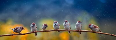 Poster natural panoramic photo with little funny birds and Chicks sitting on a branch in summer garden in the rain
