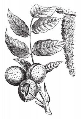 Poster Nut vintage illustration.