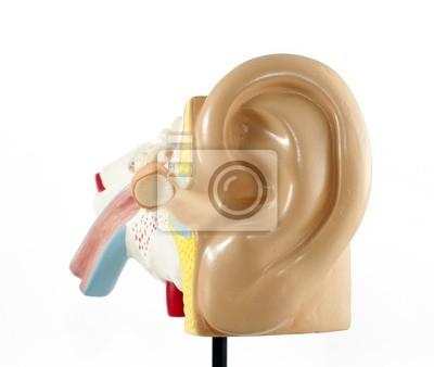 Ohr-anatomie wandposter • poster Vorhalle, Gehörgang, Trommelfell ...