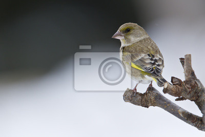 Oiseau verdier d'Europe en hiver femelle