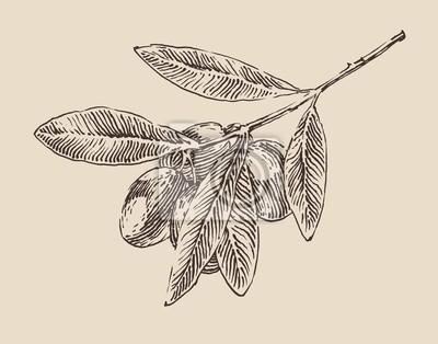 Olivenzweig Illustration, graviert Retro-Stil