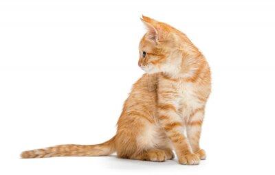 Poster Orange, gestreift, Kätzchen