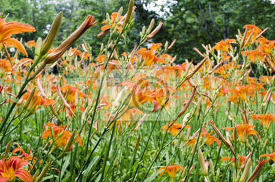 Orange Lilie Blumen Lilien Im Garten Im Freien Wandposter Poster