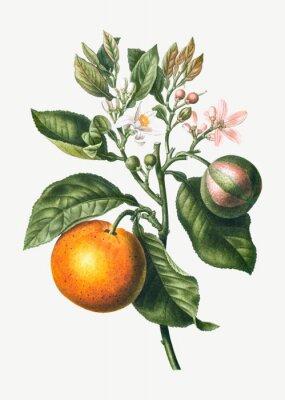 Poster Orange tree branch