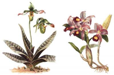 Poster Orchidee - links Paphiopedilum venustum und rechts Cattleya Skinneri / Jahrgang Illustration