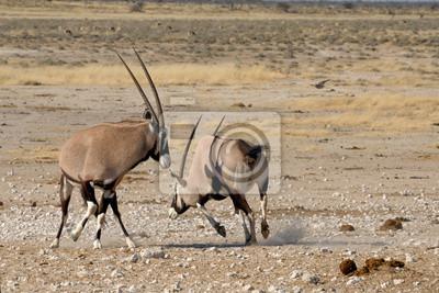 Orix (Oryx) kämpfen
