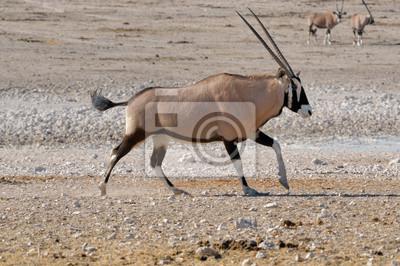 Orix (Oryx) läuft