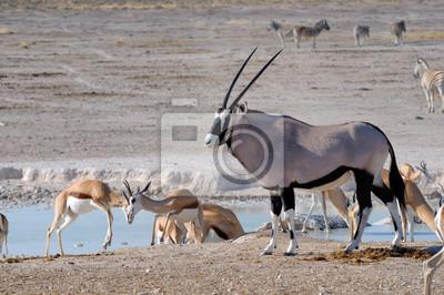 Orix (Oryx) und Springbok