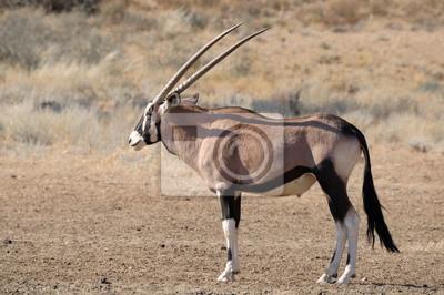Oryx (Oryx)