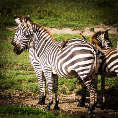 Poster Oxpeckers Vögel erhalten Nahrung, die Läuse auf den afrikanischen Zebras isst und sie erhalten Schädlingsbekämpfung