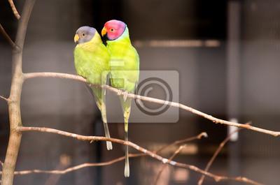 Pair of plum-headed Sittiche. Park Avifauna, Niederlande