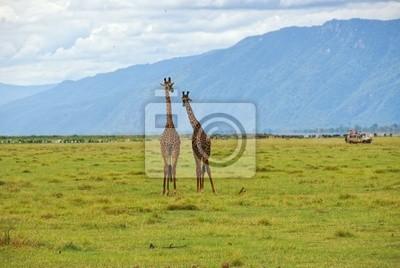 Pair von Giraffen