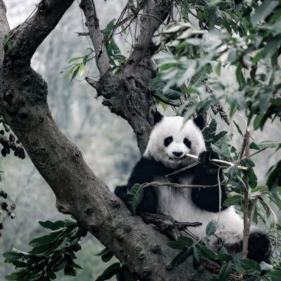 Poster Panda auf Baum