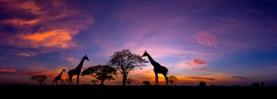 Poster Panorama silhouette Giraffe family and  tree in africa with sunset.Tree silhouetted against a setting sun.Typical african sunset with acacia trees in Masai Mara, Kenya