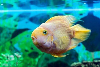 Poster Papageienfisch Großansicht