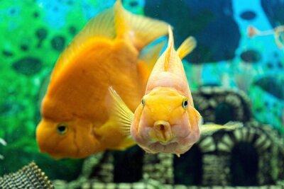 Poster Papageienfisch im Aquarium Großansicht