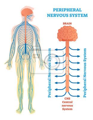 Peripheres nervensystem, medizinisches vektorillustrationsdiagramm ...