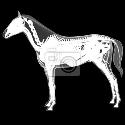 Pferd anatomie wandposter • poster Fortpflanzungs-, Atemwege ...