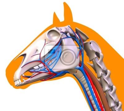 Pferd-kopf-anatomie wandposter • poster Fortpflanzungs-, Atemwege ...