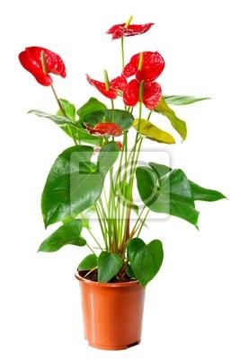 Pflanze des Anthurium Blumen im Blumentopf isoliert auf weiß