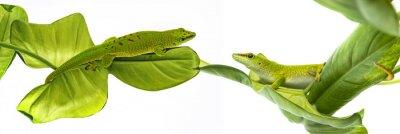 Poster Phelsuma madagascariensis - gecko isoliert auf weiß