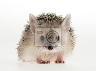 Photo hedgehog in studio.