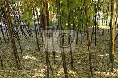 Phyllostachys Nigra Schwarzer Bambus Im Garten Valencia Wandposter