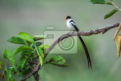 Pin-tailed Whydah in Kruger National park, South Africa ; Specie Vidua macroura family of Viduidae