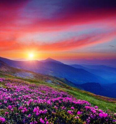 Poster Pink flower rhododendrons at magical sunset. Location Carpathian mountain, Ukraine, Europe. Most popular tourist destination. Scenic image of idyllic summer wallpaper. Discover the beauty of earth.