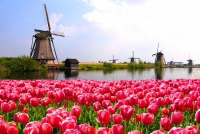 Poster Pink tulips with Dutch windmills along a canal, Netherlands
