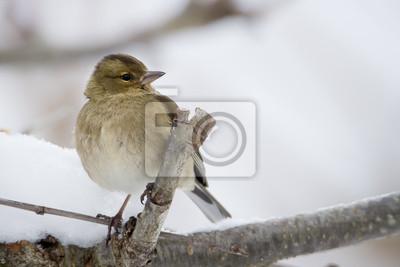 Pinson des arbres en hiver femelle