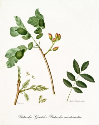 Poster pistachio branch with leaves and other botanical elements. All composition is isolated over white background. Old detailed botanical illustration by Giorgio Gallesio published in 1817, 1839