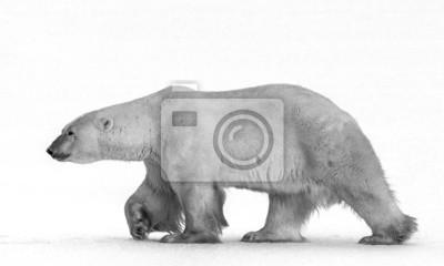 Polar bears are nose to nose.