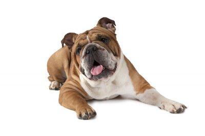Poster Portrait der englischen Bulldogge auf weißem Hintergrund