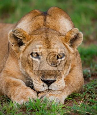 Portrait einer Löwin. Uganda.