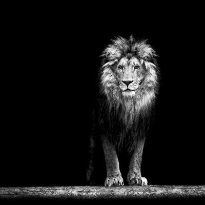 Poster Portrait einer schönen Löwe, Löwe in der Dunkelheit