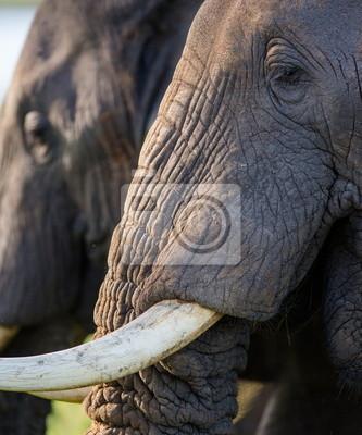 Portrait eines Elefanten mit Stoßzähnen. Uganda.