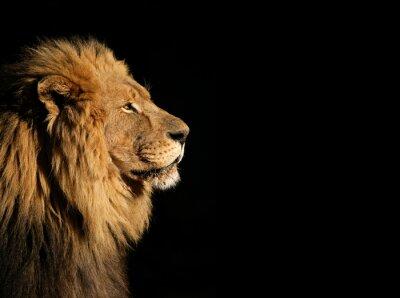 Poster Portrait eines großen männlichen afrikanischen Löwen auf schwarzem