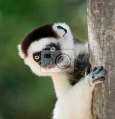 Portrait eines Lemur. Madagaskar.