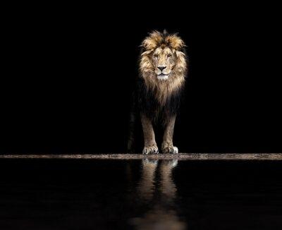 Poster Portrait eines schönen Löwes, Löwe am waterhole
