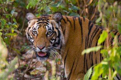 Poster Portrait eines Tigers in der Wildnis. Indien. Bandhavgarh Nationalpark. Madhya Pradesh. Eine ausgezeichnete Illustration.