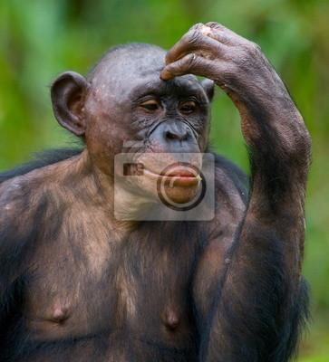 Portrait of a Bonobo.