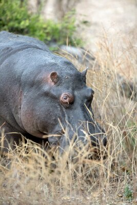 Portrait of a hippo