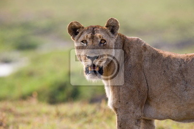 Portrait of a lioness in the savannah. Zambia.